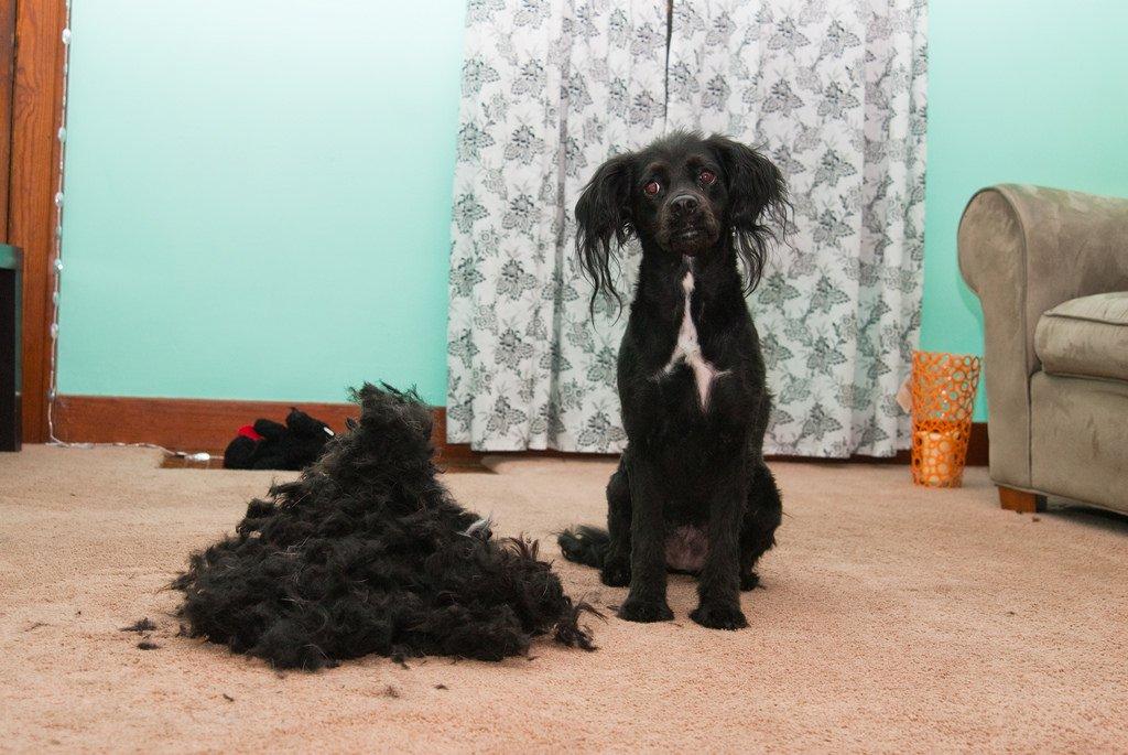 Perro con pelo cortado