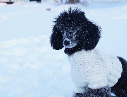 Enemigo oculto: el frio para los perros